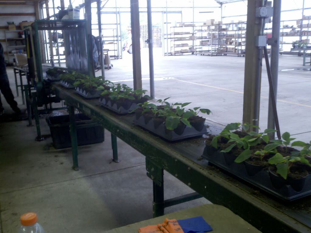 Our little plants are growing up and we're transplanting them into larger containers.