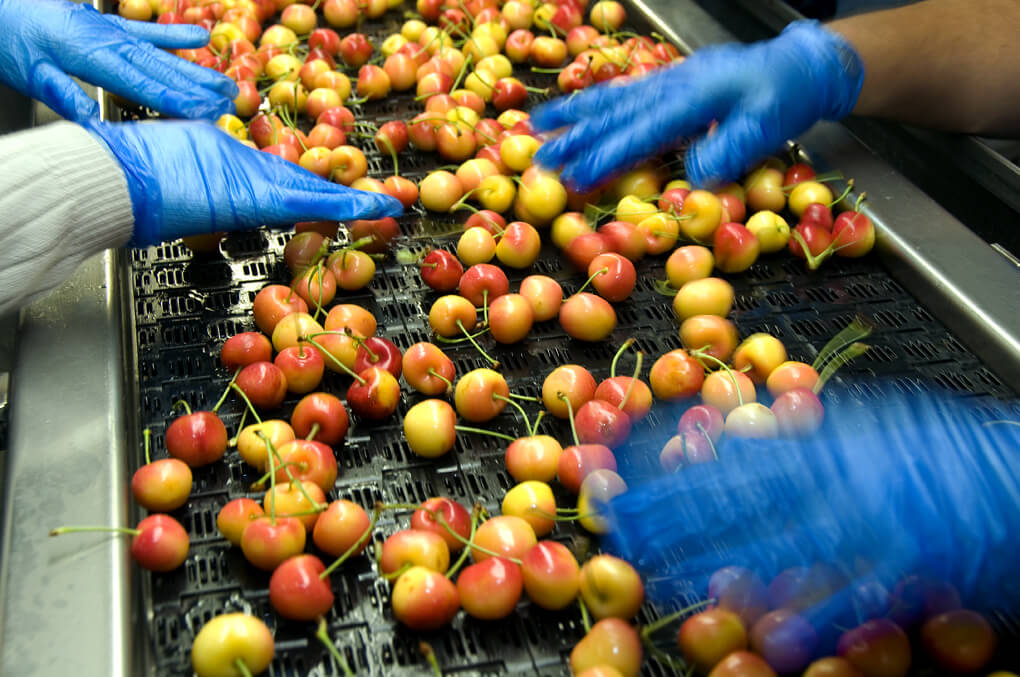 Rainier cherries on the packing line