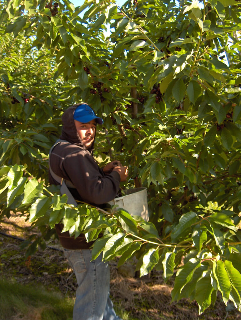 Cherries are still harvested the old fashioned way - by hand.
