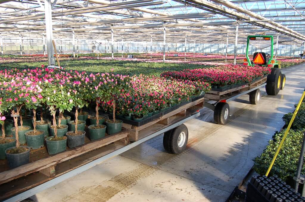 #107 – florist azalea are pulled from the forcing houses and taken to the packing area