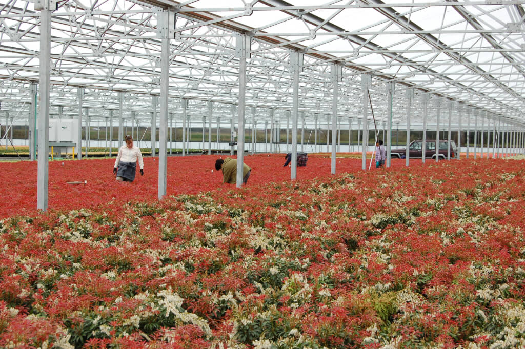 Rough(19) – workers are taking cuttings from salable crop Mt Fire Pieris for future production