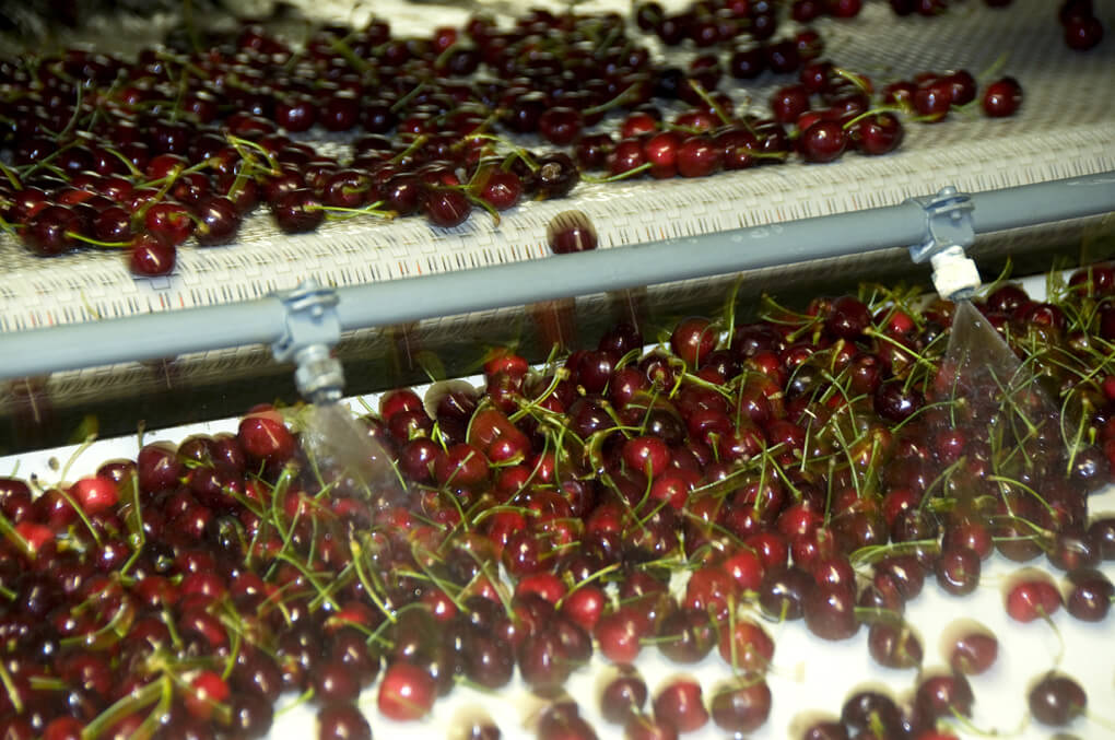 Bing cherries on the assembly line