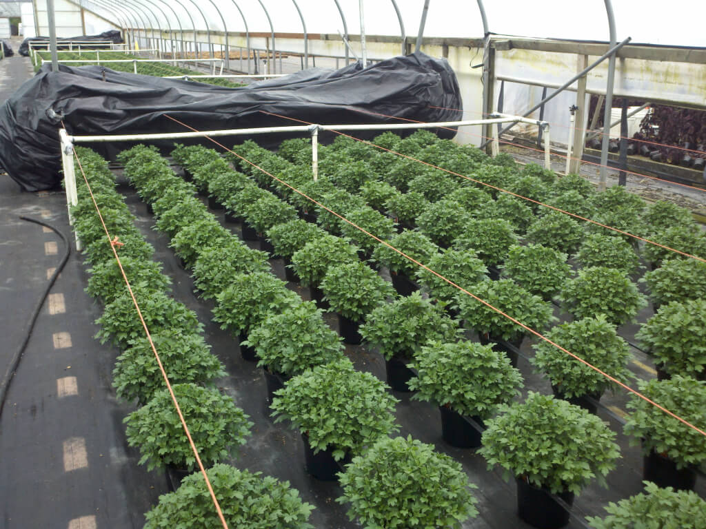 Garden mums require that the days be no longer than 13 hours to flower,natural bloom time is late September. Customers want them ready August 1. We pull the black plastic each evening around 7pm and uncover at 7am. We do this for approx 4 weeks.
