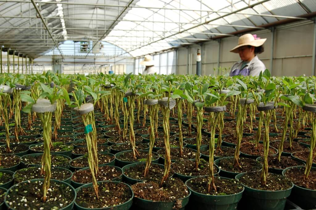 #103 – azalea tree liners are braided. The plant will take another 18 months to finish