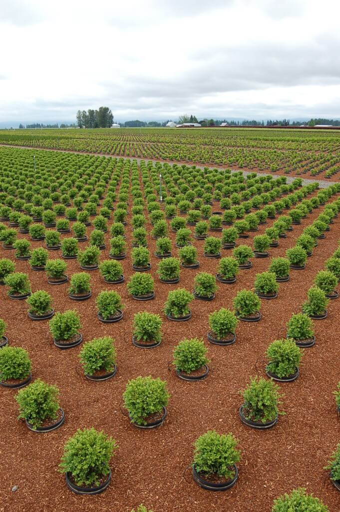 Newpnp(2) – newest pot-in-pot area is completed and filled with #6 boxwood