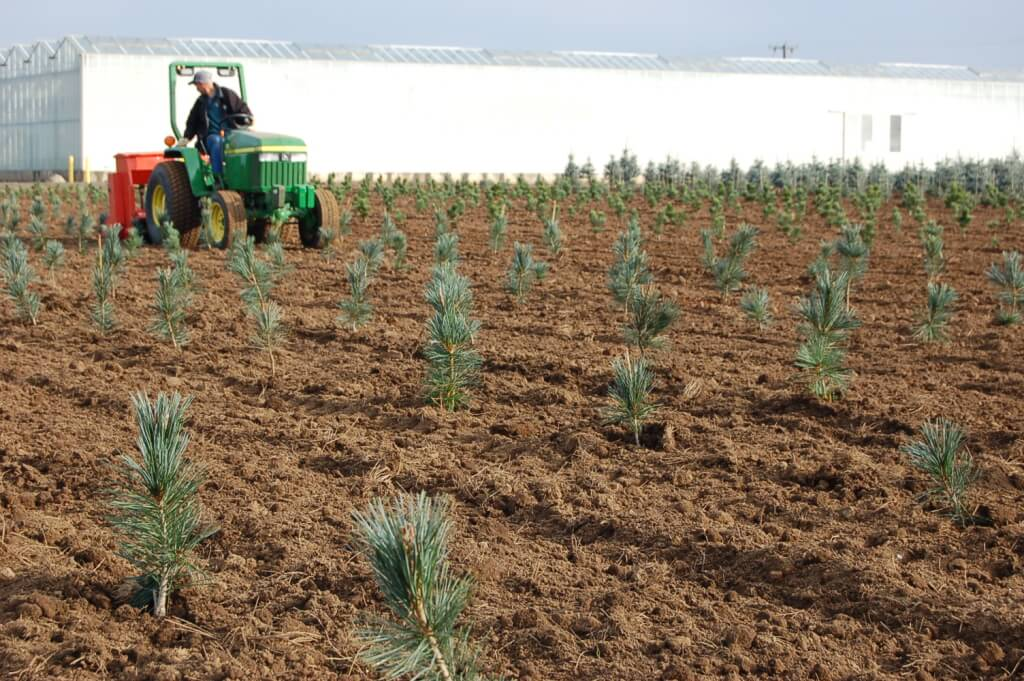 PinePlant2007 – our grower Ron Schmidt is rototilling between rows of a new planting of Vanderwolf Pines